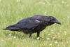 Juvenile raven on the ground, looking ahead.
