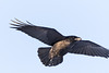 Raven in flight, wings out, one wing tip out of frame.