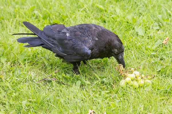 Raven enjoying grapes.