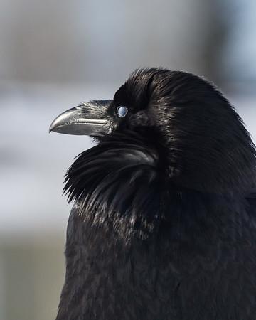Raven, headshot.