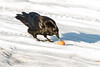 Raven eating egg yolk on snow.
