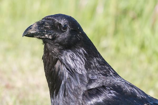 Raven headshot with dirty beak.