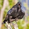 Raven on small stump, beak open.