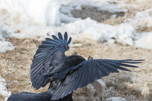 Raven hopping with a package of meat in its beak.