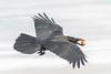 Raven in flight carrying brown egg in its beak.