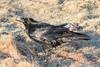 Raven in the grass in Moosonee 2017 April 21st.