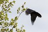 Junvile raven practicing landing in tree.