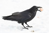 Raven in shallow snow with nictating membrane over eye with brown egg in beak.
