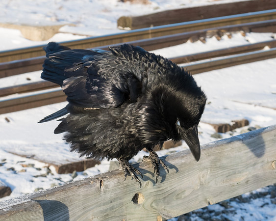 Raven sitting on railing of railway bridge over Store Creek. Nictating membrane over eye; crouching forward.