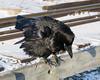 Raven sitting on railing of railway bridge over Store Creek. Nictating membrane over eye; crouching forward.