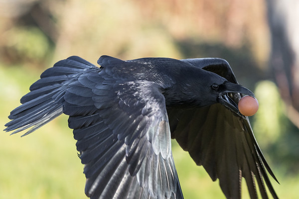 Raven flying with brown egg in beak. Wingtips out of focus and out of frame.
