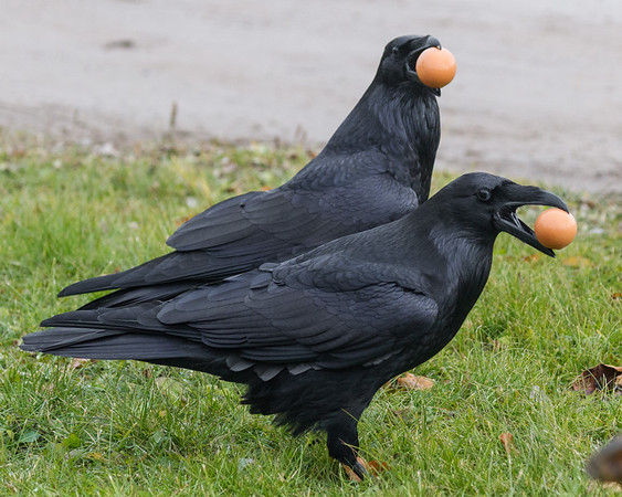 Two ravens with eggs on the ground.