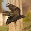 Raven in flight, feet down