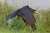 Raven in flight, egg in beak, wings down.