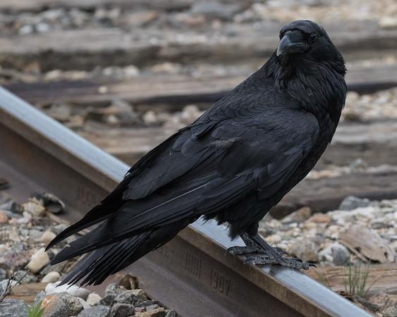 Raven on railway trakc in Moosonee. Track Algoma 1907.
