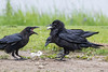 Adult raven at right with food, head feathers chuffed out, juvenile at left begging for food, second juvenile behind. Tail of raven at left out of frame.