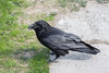 Raven on the sidewalk.