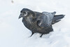 Raven standing in soft snow. Nictating membrane over eye.