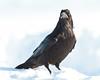 Raven, on ground, looking towards camera.