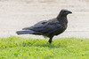 Juvenile raven at the edge of the lawn.
