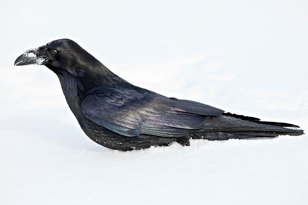 Raven walking through soft, deep snow.