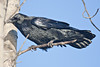 Raven on a tree branch