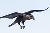 Raven about to land, one wing tip out of frame. Feet down.