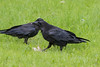 Adult raven in foreground with a piece of meat, juvenile raven in background (tail out of frame).