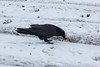 Raven with an egg at Moosonee train station.