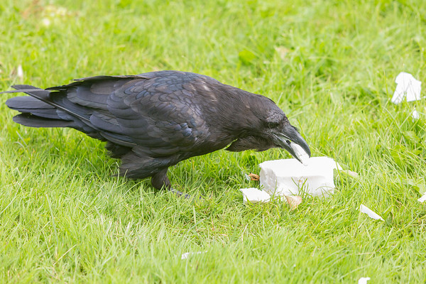 Raven enjoying lard.