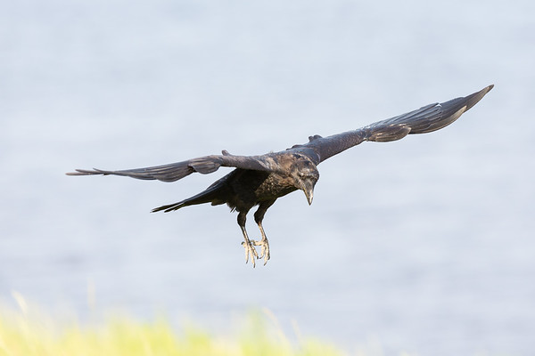 Juvenile raven in flight, feet down, wings out.