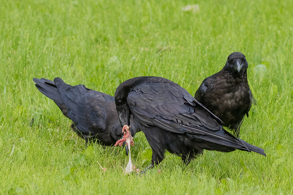 Adult raven pulls at a piece of meat while two juveniles watch.