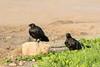 Two ravens alaong Revillon Road in Moosonee.