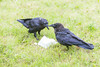 Two ravens by chunk of lard.