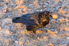 Raven on the ground with egg in beak. Nictating membrane half closed over eye.