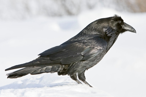Raven on snow, chuffed up