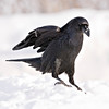 Raven walking on snow, both feet down, cropped to 2336 pixels square
