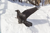 Raven using wings to help climb snow.