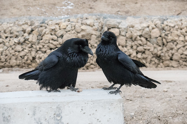 Two ravens at poublic docks site in Moosonee. One slightly chuffed up.