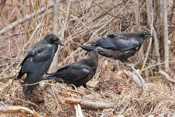 Three juvenile ravens on a pile of grass and sticks, one preparing to take off.
