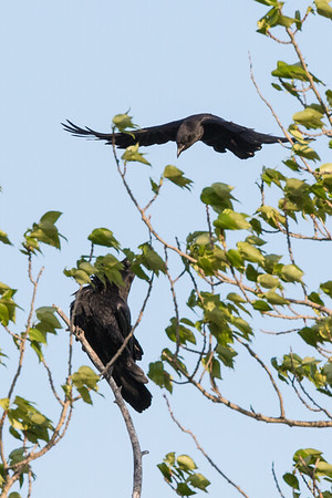 Crow harassing a raven sitting in a tree.