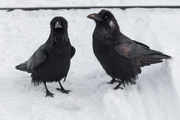 Two ravens by the railway tracks.
