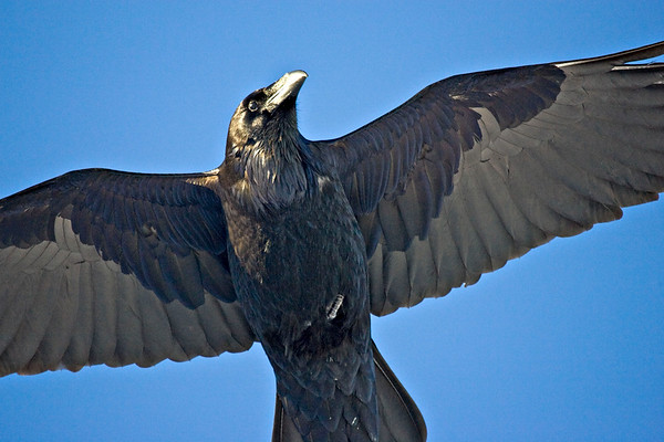 Raven overhead, showing head and inner parts of wings and tail.