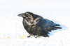 Raven on the snow with an egg.