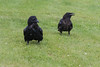 Adult raven with head feathers raised with juvenile raven.