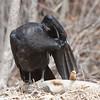 Juvenile raven grooming wing