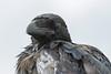 Juvenile raven, headshot. Corvid. Nictating membrane half closed over eye.