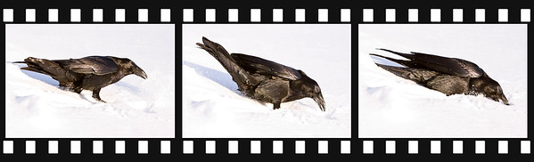 Raven walking in soft snow, preparing to dig and then digging in the snow