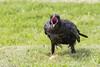 Juvenile raven with beak open.