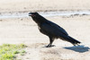 Juvenile raven standing on the edge of the road with beak slightly open.